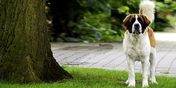 St. Bernard dog standing beside tree with the detective's shadow behind it.